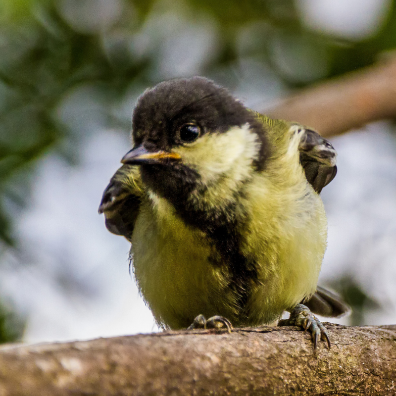 Chapim-real (Parus major)