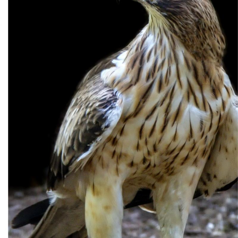 Águia-calçada ou Águia-pequena ou Águia-de-botas (Hieraaetus pennatus)