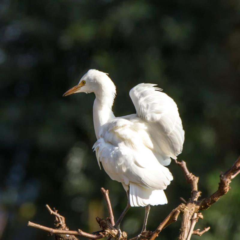 Garça-boieira (Bubulcus ibis)