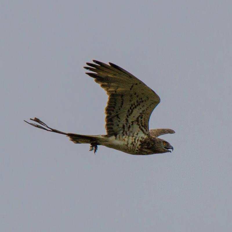 Águia-cobreira ou Guincho-branco (Circaetus gallicus)