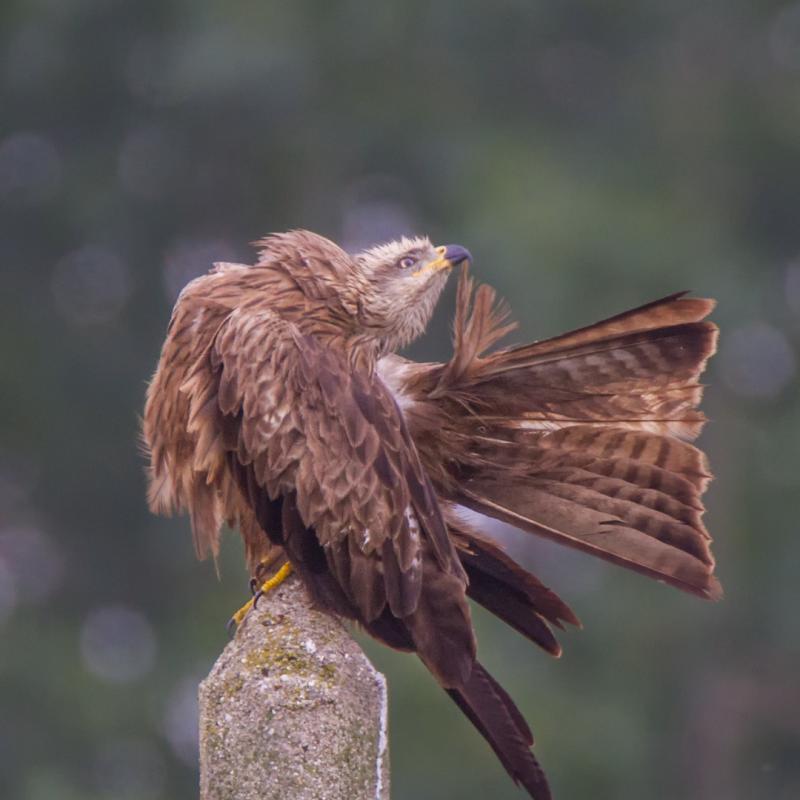 Milhafre-preto (Milvus migrans)