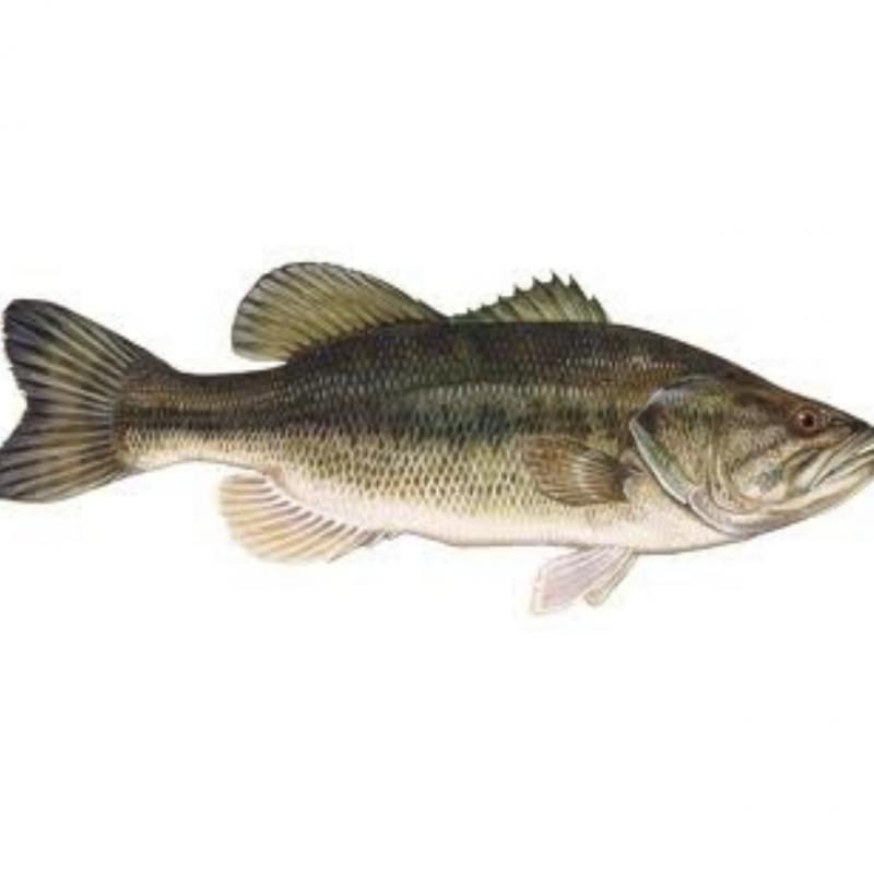 Achigã (Micropterus Salmonides)
