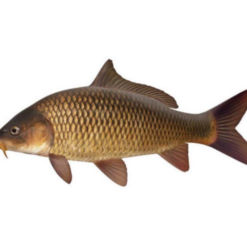 Carpa (Cyprinus Carpio)