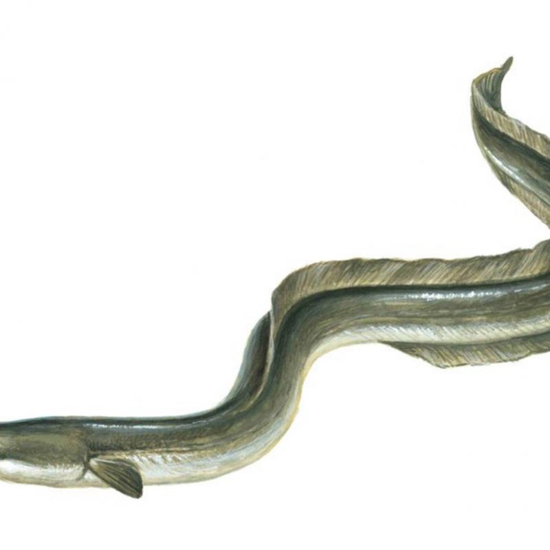 Enguia (Anguillidae)
