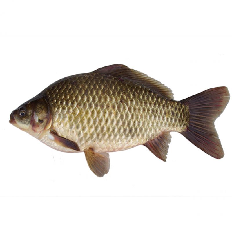 Pimpão (Carassius Auratus)